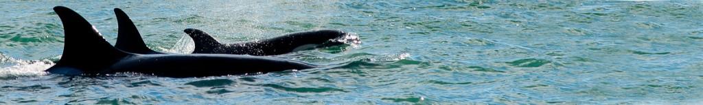 Orcas Punta Norte